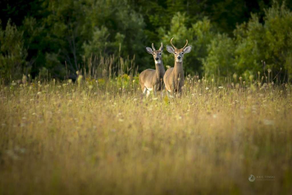Two young bucks in a field, photography by Kris Tynski