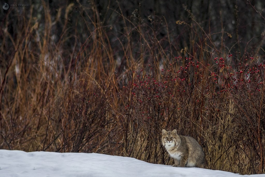Bobcat on Cape Breton Island - Photo by Kris Tynski