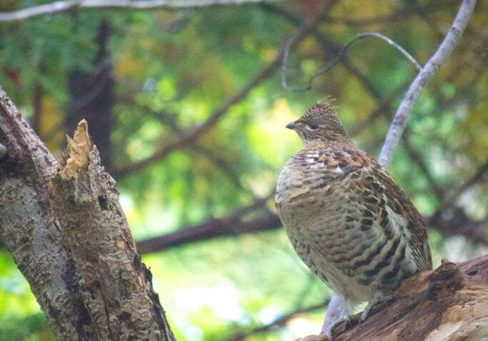 Ruffed grouse on tree branch in Whycocomagh on Cape Breton Island