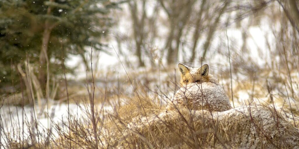 Photograph of a fox curled up in the sun and snow on Cape Breton Island, photographed by Kris Tynski